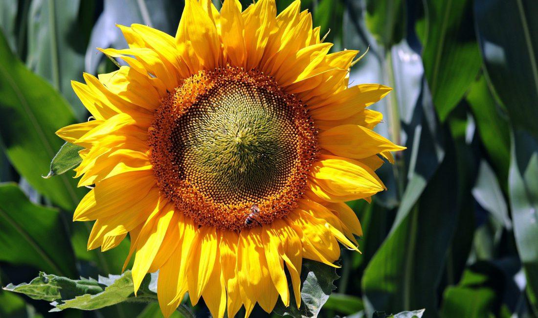 sunflower-3540266_1920